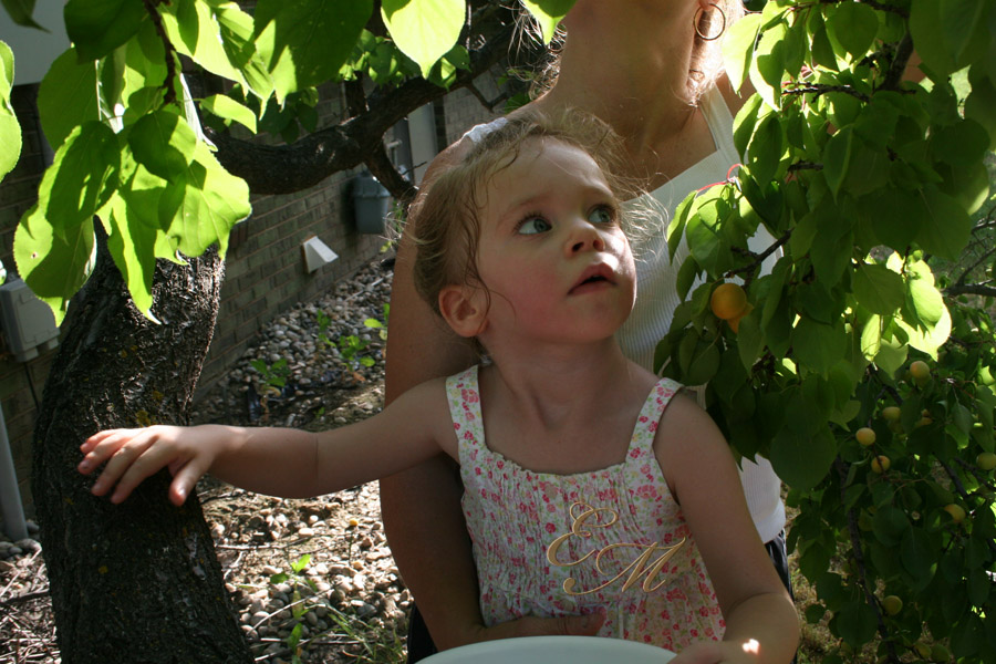 Apricot picking4